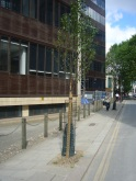 New Cleveland Street Trees